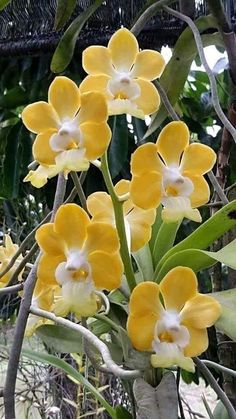 """orchids of the philippines Related Post Orquídeas tinnacriss: """" Orchids by ATS TRAN on """" Dendrobium Orchids. In nature orchids and other flowering plants alike. Unusual Flowers, All Flowers, Flowers Nature, Amazing Flowers, Beautiful Roses, Yellow Flowers, Beautiful Flowers, Orchids Garden, Orchid Plants"""