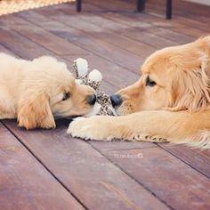 Goldens Lizzie & Ally ♥