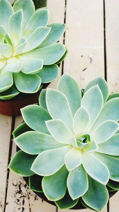 succulents Buy Succulents and cactus Plants … – Garten Plante Crassula, Cactus Plante, Echeveria, Types Of Succulents, Cacti And Succulents, Planting Succulents, Planting Flowers, Flowering Succulents, Succulent Containers