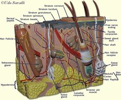 altay skin model and label key Anatomy Humor, Skin Anatomy, Anatomy Models, Study Board, Nursing Students, Nursing Schools, Human Anatomy And Physiology, Science Humor