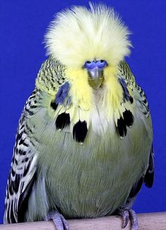 Top prize: Two-year-old budgie Orchard Goldenboy has just been crowned best in show at the Budgerigar Society World Championship