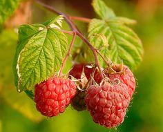 Framboos (Rubus idaeus)