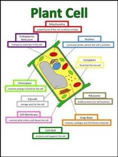 plant cell essay ideas for 8th
