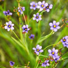 Blue-eyed grass - Knock-Out Native Plants - Sunset