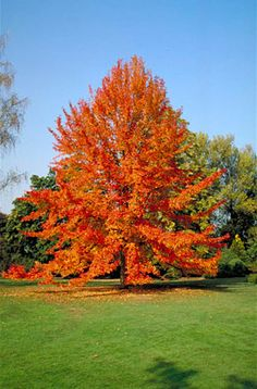 Acer saccharum sugar maple so pretty i wish i had one for Slow growing trees for front yard
