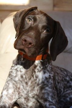 Pictures of German Shorthaired Pointer Dog Breed. This is exactly what my little Ellie looks like :) - My Doggy Is Delightful Gsp Puppies, Pointer Puppies, Pointer Dog, I Love Dogs, Cute Dogs, Rat Terrier, Short Haired Pointer, German Shorthaired Pointer, Hunting Dogs