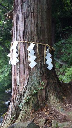 japanese Sacred tree of Shinto shrine