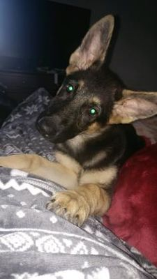 Pictures of Kira a German Shepherd Dog for adoption in Newfield, NJ who needs a loving home.