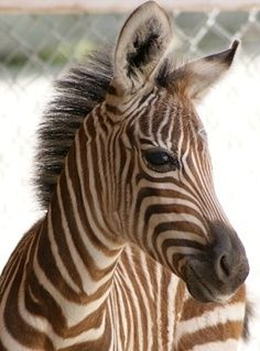 Baby Zebra - ZooBorns all-creatures-great-and-small Zebras, Cute Baby Animals, Animals And Pets, Wild Animals, Beautiful Creatures, Animals Beautiful, Clydesdale, African Animals, Pet Birds
