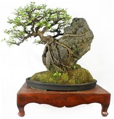 A Bonsai Tree at the Suiseki Exhibit and Competition in Want to see more a. A Bonsai Tree at Planting Flowers, Plants, Indoor Bonsai Tree, Bonzai Tree, Ikebana, Zen Garden, Japanese Garden, Small Trees, Miniature Trees
