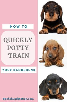 You can start potty training your dachshund puppy around 8 weeks of age. You can use newspapers or puppy pads The post 6 Easy Tips For Potty Training Your Dachshund- Dachshund Station appeared first on Reeva Wills Puppies. Potty Training Tips, Training Your Puppy, Training Dogs, Training Classes, Agility Training, Crate Training, Training Equipment, Training Schedule, Dog Agility
