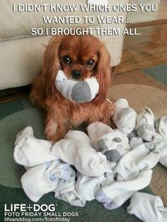 So cute-  this exactly what my cavi, Lucy does!  How can that not make you smile...  :)