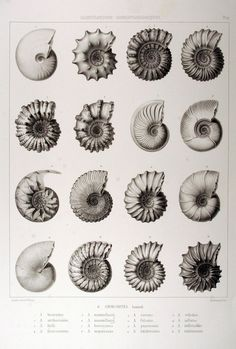 ammonites (fossils) - loved collecting fossils like these as a child with my dad on family holidays by the sea