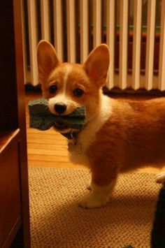Has there ever been a more adorable animal in the history of the world than corgi puppies? I think not.