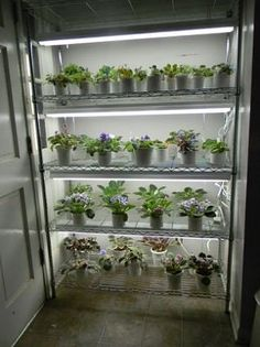 Share Your Pic Of Growing Shelf African Violets Forum