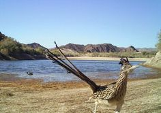 A roadrunner near Lake Mohave was captured by a Bureau of Reclamation camera trap. (Photo by Bureau of Reclamation)  via @AOL_Lifestyle Read more: https://www.aol.com/article/news/2017/03/07/just-63-amazing-animal-photos-from-the-department-of-the-interio/21874484/?a_dgi=aolshare_pinterest#fullscreen