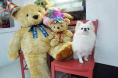 pomeranian with teddy bear