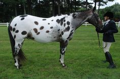 Appaloosa 105 by Spotstock