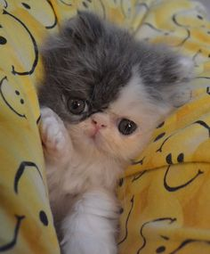 Persians and flat faced kitties rock