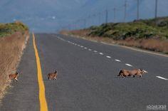 Caracal and kittens crossing road near Gansbaai