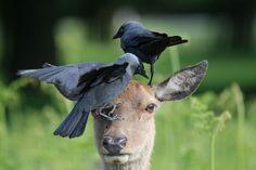 Deer tolerates jackdaws searching for ticks on its head in Bushy Park, Richmond, London Photograph: Melissa Nolan/Rex Shutterstock