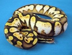 Calico Pastel Pretty Snakes, Pet Snake, Ball Python, Anaconda, Reptiles And Amphibians, Beautiful Creatures, Pastel, Animals, Image