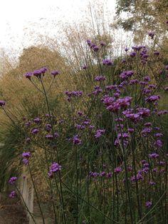 Verbena bonariensis with Stipa gigantea behind Dry Garden, Garden Beds, Garden Plants, Small Courtyard Gardens, Back Gardens, Plant Design, Garden Design, Wildwood Flower, Stipa