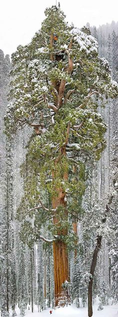 """16 of the most magnificent Trees in the world - """"The President"""" The Third largest sequoia in the world"""