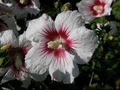 Hibiscus 148