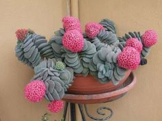 Succulent Succulents Home Decor Cactus Cacti Cultivar Wreath Pot Planter Pottery Plant Plants Succulents Lola Moonstone String of Pearls Unusual Plants, Small Plants, Exotic Plants, Cool Plants, Exotic Flowers, Cacti And Succulents, Planting Succulents, Cactus Plants, Planting Flowers