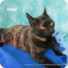 Still alive Madisonville, TN - Domestic Shorthair. Meet Salem a Cat for Adoption.