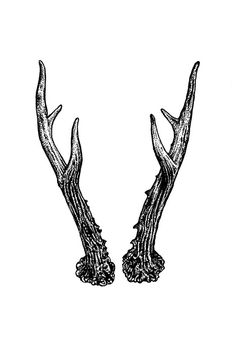 natalieillustrates:  Roe deer antlers.Black and white. 6 x 4 inches. Indian ink pen on watercolour paper.