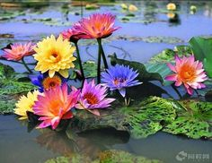 Renkli Nilüferler