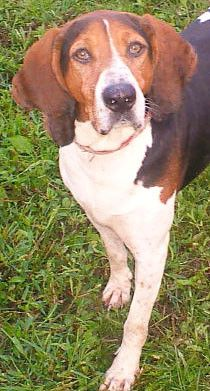 """(As our newest edition will be from the partial """"Hound Group"""" with mix of Beagle and Coon and Judy our love .👍My Partner Mstt and I. Dog Lover Gifts, Dog Lovers, Walker Hound, Dog Finder, Treeing Walker Coonhound, Mix Photo, Beagle Mix, Kittens And Puppies, Bloodhound"""