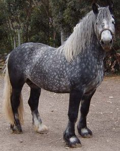 The percheron is the most popular of the French draft horses. The percheron is a very small draft breed. They can be speckled, grey, or black. The percheron has an elegant appearance. Dapple Grey Horses, Percheron Horses, Andalusian Horse, Breyer Horses, Clydesdale, Arabian Horses, All The Pretty Horses, Beautiful Horses, Animals Beautiful
