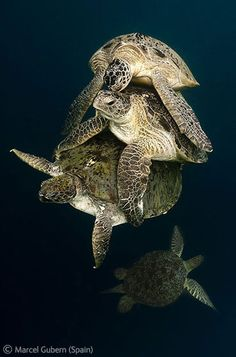 A stack of suitors - Marcel Gubern - Wildlife Photographer of the Year 2011