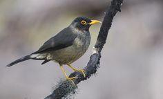 Foto sabiá-de-cabeça-preta (Turdus olivater) por Salaroli   Wiki Aves - A Enciclopédia das Aves do Brasil