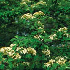 """Viburnum prunifolium-more shrub-birds love it/ATTRACTS: Red Headed Woodpeckers. Attracts a lot of bugs which is essential for nestlings diet in spring./""""Arrowood"""" attracts Pheasants. Important I January."""