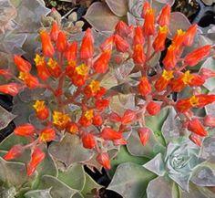 Dudleya cymosa ssp. pumila [96-226] 1 flower, form
