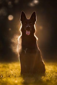 Deutscher Schäferhund   Hundesport   Fotografie   Hund   Hunde