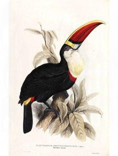 Gould Bird Prints Toucans Red Billed Toucan