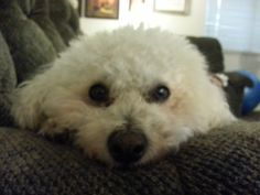 It's Ollie, by golly! Bichon frise