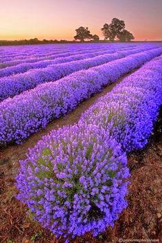 5.Lavender Fields, France Lavender Fields, France