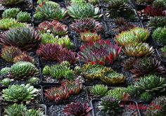 Sempervivum Sue Thomas cultivars
