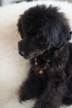 #toypoodle #blackpoodle #bluepoodle #haircut ♥