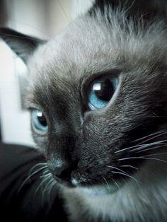 Siamese cat pretty eyes :)