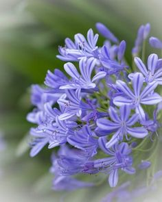 Whether you want to plant for the first time or renovate your garden, consider getting some Agapanthus Peter Pan.There are many cool things about this beautiful flower that will probably entice you. 10 Amazing Facts Of Agapanthus Peter Pan - African Lily Botanical Flowers, All Flowers, Growing Flowers, Tropical Flowers, Planting Flowers, Beautiful Gardens, Beautiful Flowers, African Iris, Birds Of Paradise Flower