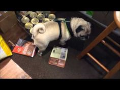 Naughty Pug Caught Stealing Treats - YouTube
