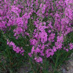 LYTHRUM virgatum 'Rose Queen' (Salicaire) : Touffes ramifiées dressées, ligneuses. Accepte tous les sols même secs, mais affectionne les lieux frais ou humides. Massif, bord de ruisseau, de pièce d'eau, piscine écologique. Touffes ramifiées et dressées aux légères inflorescences rose soutenu.