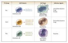 Helper T-Cell (Th) Subgroups and Effector Functions.